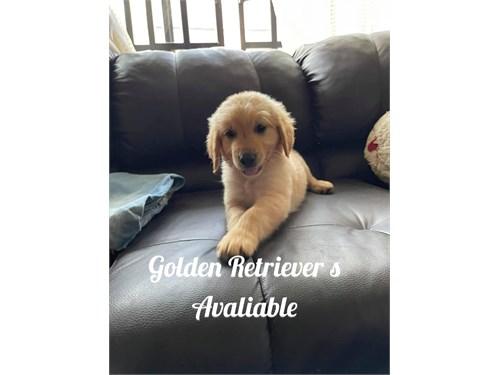 Golden retriever real pos