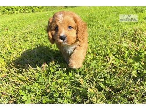 Cute Cavapoo Puppies
