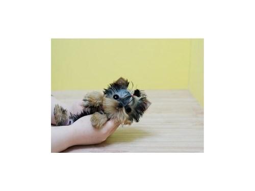 Pretty Yorkie Puppies