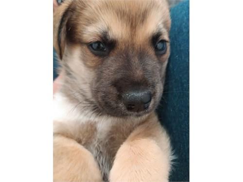 GSP/Husky Mix Puppy