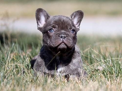 Choco French Bulldog Pup