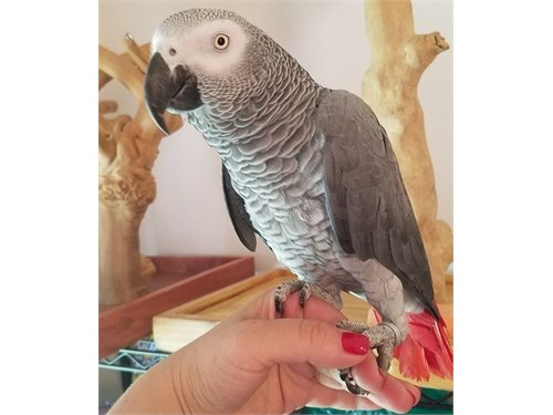 Talented African Grey