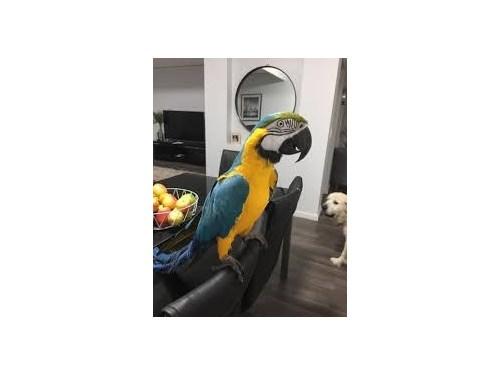 Macaw Parrots For Sale