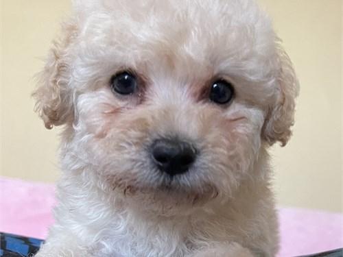 cutest maltipoo puppies