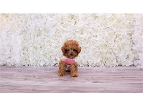 Teacup poodle puppy