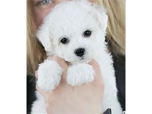 sweet bichon frise pups