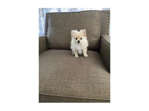 Pomeranian female $2900