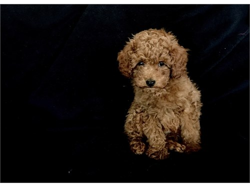 Small F1b Goldendoodle