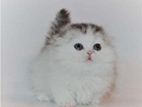 Pure Munchkin kittens