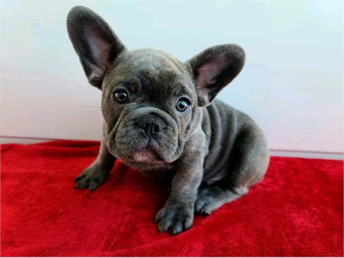 French Bull-dogs