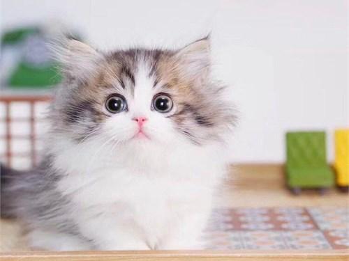 Good Munchkin kittens