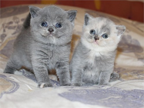 763p British shorthair