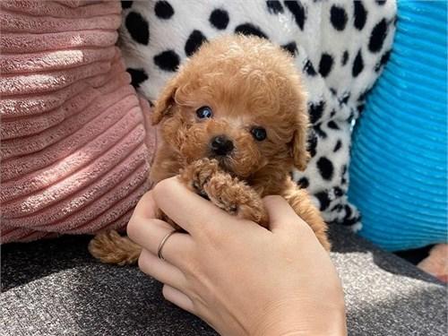 Adorable toy poodle pups