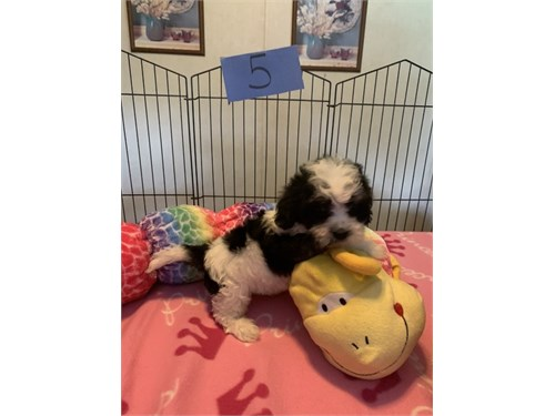 Cav@p00 Puppies for Sale