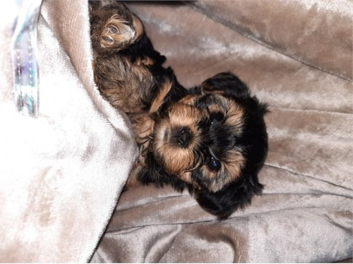 Available F/M Yorkie Pups