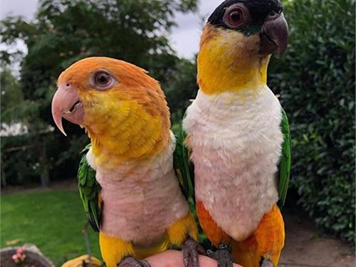 Sweet & Playful parrots F