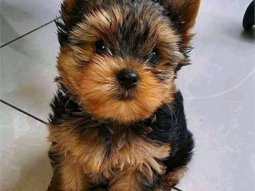 Friendly Yorkie puppies
