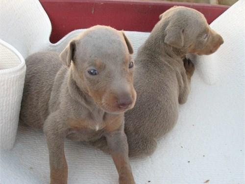 Doberman Pups,AKC Fawn F