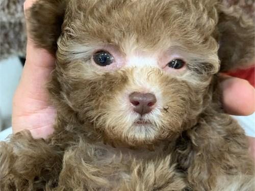 Hi! Pure Poodle
