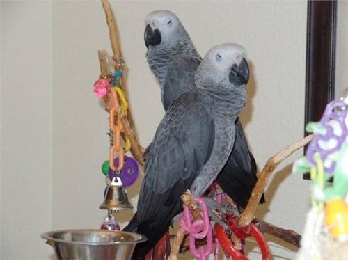 Cute Grey Parrots