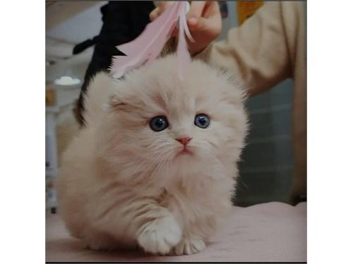 Munchkin kittens Ready