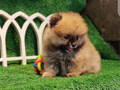 Valentina – Pomeranian