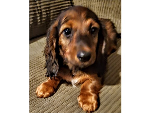Handsome Mini Doxie Puppy