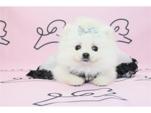 Teacup & Toy Pomeranian