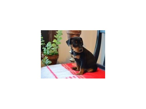 MINIATURE PINSCHER PUPPIE