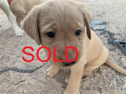 AKC Labrador Pup Dekes