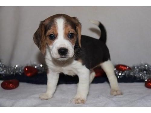 Beagle Pups for sale