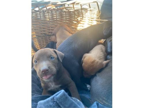 Lab Doberman puppies