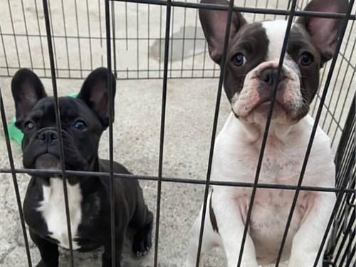 2 French bulldog puppies