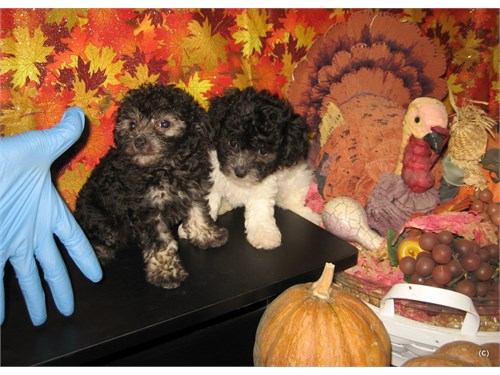 Purebred Tiny Toy Poodle