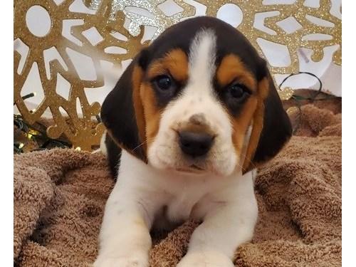 AFFECTIONATE Beagle pup