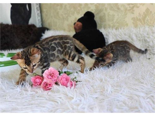 awesome Bengal kittens