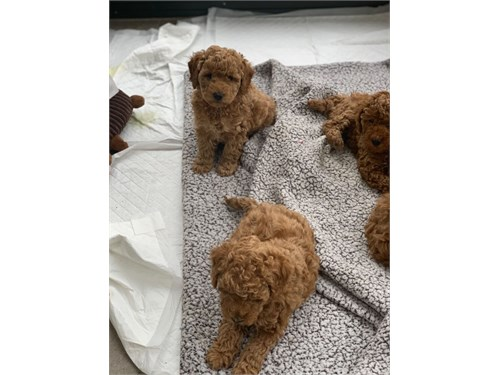 Golden Doodles available!