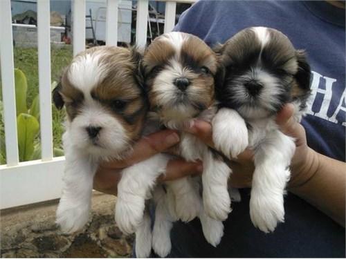 Two Shih Tzu puppies avai