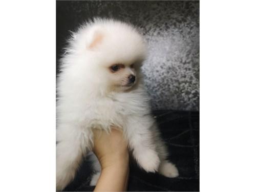 AKC Registered Pom Pups