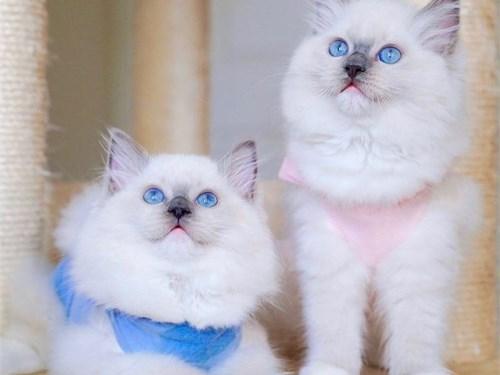 Ragdoll kittens sale