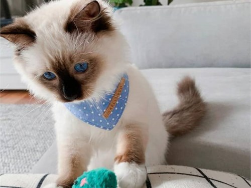 Friendly Ragdoll kItten