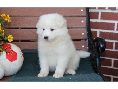 cut Samoyed puppies