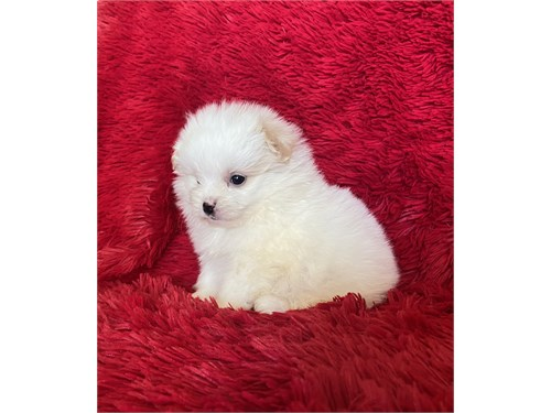 Pomeranian Poodle Puppies