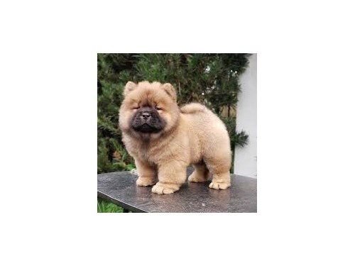 Chow chow pups for sale