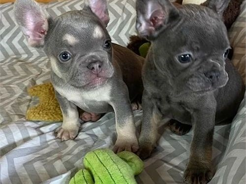 french Bull*dog puppies