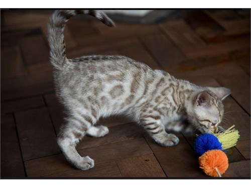Bengal kittens Available.