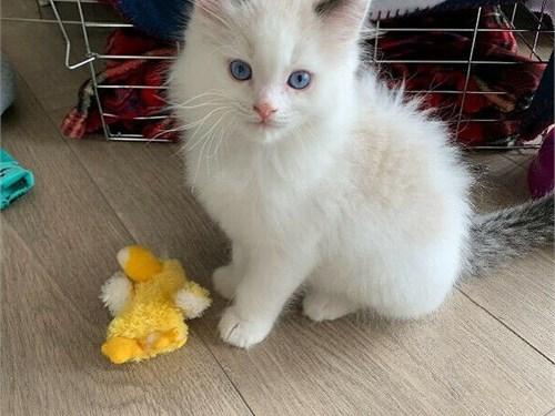 More Ragdoll kittens
