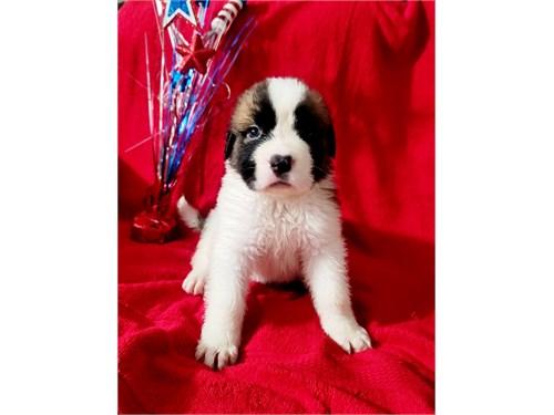 St. Bernard Puppies!!!