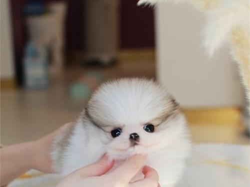 Mini pom pups