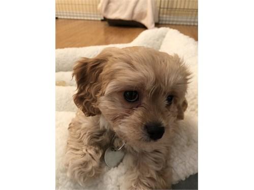 cavachon puppy- 9 weeks